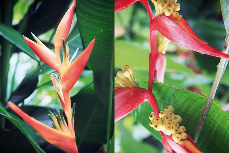 jardin-botanique-guadeloupe-deshaies-2-06