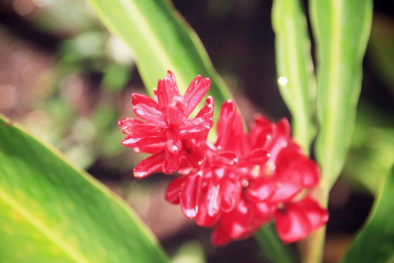 jardin-botanique-guadeloupe-deshaies-29